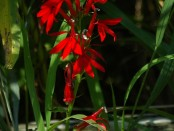 Cardinal_flower_Lobelia_cardinalis_Linnaeus