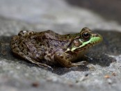 Rana_clamitans_melanota_(Northern_Green_Frog)